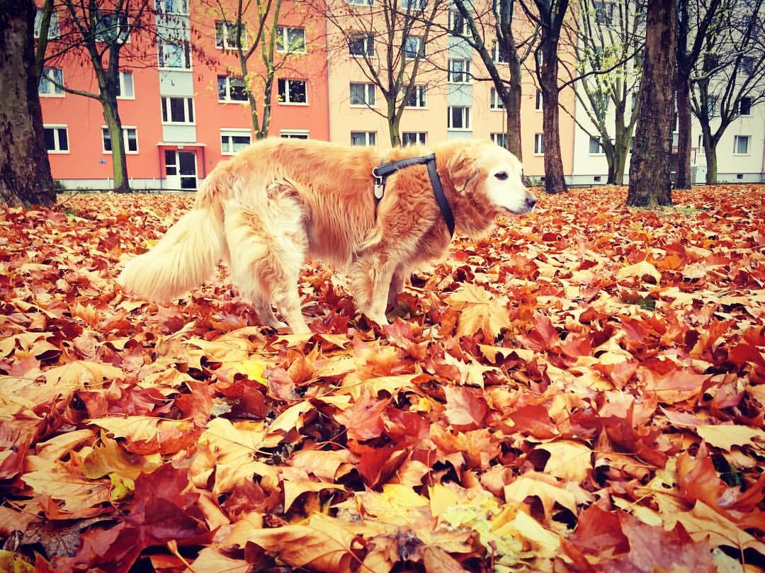 #paracegover A imagem mostra a sra. Jenny, uma golden retriever queridíssima, fazendo seu passeio matinal. É um pouco difícil de ver porque ela é da mesma cor dourada que o mar de folhas que cobre o chão... — at Mrs. Sporty Berlin Mitte.