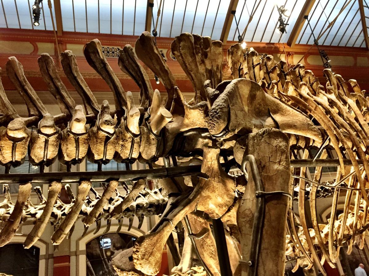 Detalhe da coluna vertebral de um dinossauro, com os ossos se encaixando magnificamente.