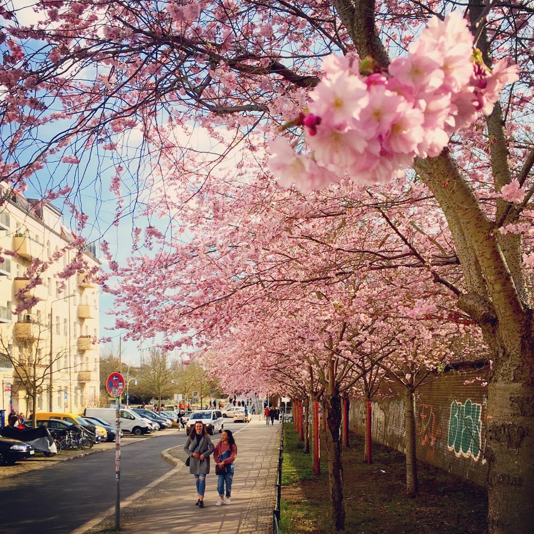 #paracegover Descrição para deficientes visuais: a imagem mostra duas pessoas caminhando sobre um calçada coberta por cerejeiras floridas. Em primeiro plano, um cacho deslumbrante. À esquerda, ao fundo, um prédio amarelo reflete o sol do dia maravilhoso. — at Schwedter Straße.