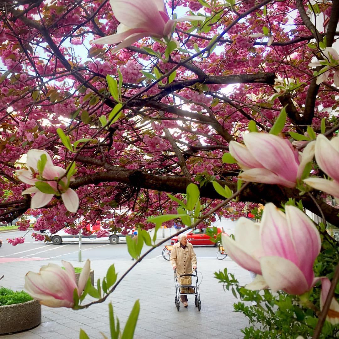 #paracegover Descrição para deficientes visuais: a imagem mostra uma senhorinha com um sobretudo bege caminhando com a ajuda de um andador. Ela está emoldurada por uma cerejeira rosa, fazendo as vezes de um céu florido, e uma árvore carregada de magnólias perfumadas. — at Berlin-Kreuzberg, Mehringdamm.