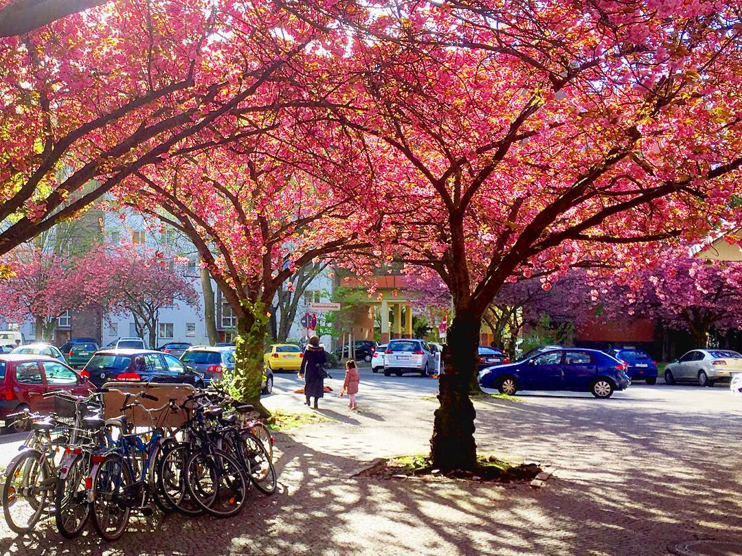 #paracegover Descrição para deficientes visuais: a imagem mostra uma mulher e uma menina caminhando sobre a calçada. Em volta delas tudo é cor de rosa, pois estão cercadas de cerejeiras floridas. No canto esquerdo, há um estacionamento de bicicletas. Alguns carros estragam a paisagem, como sempre...rs — at Divan Restaurant Berlin.
