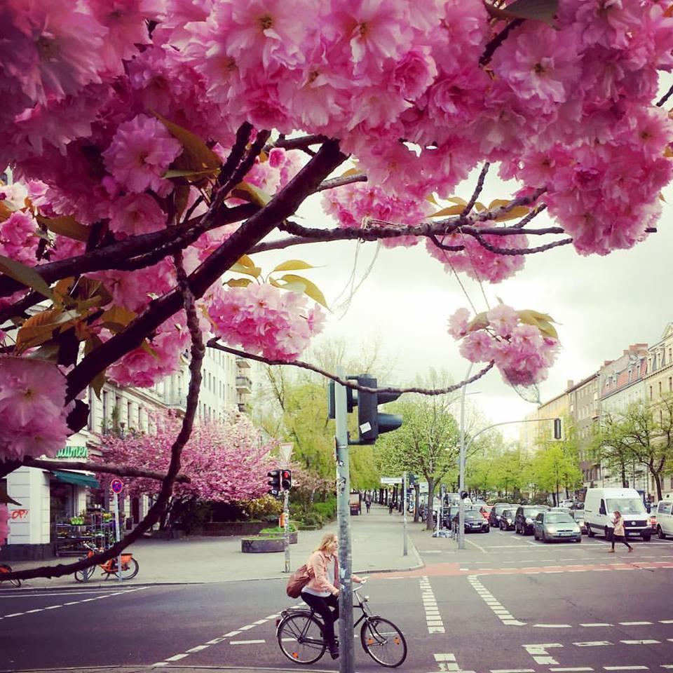 #paracegover Descrição para deficientes visuais: a imagem mostra uma ciclista de blusa rosa, aguardando para atravessar a avenida. A cena é emoldurada por uma cerejeira florida. — at Berlin-Kreuzberg, Mehringdamm.