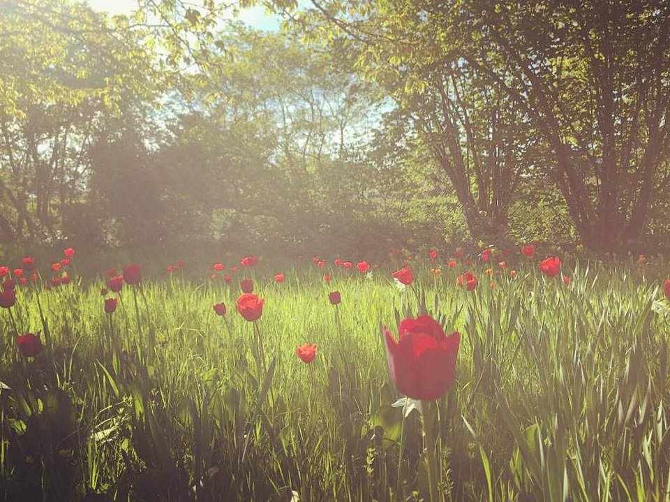 #paracegover Descrição para deficientes visuais: a imagem mostra um campo de tulipas vermelhas sob árvores com folhas novas.