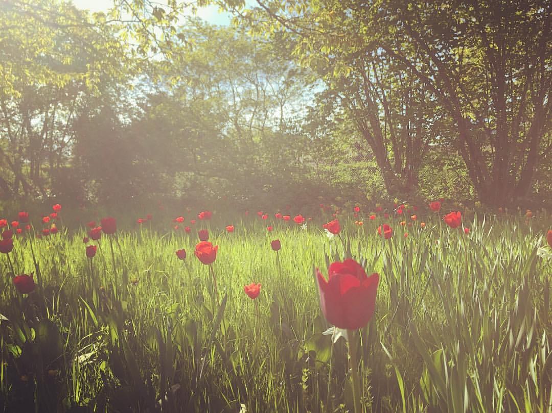 #paracegover Descrição para deficientes visuais: a imagem mostra um campo de tulipas vermelhas sob a luz difusa do sol da tarde.