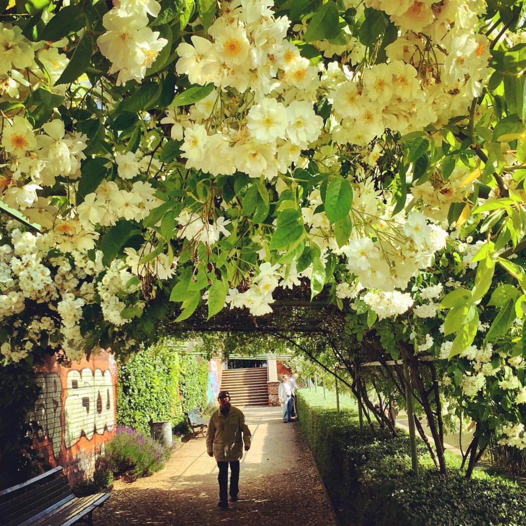 #paracegover Descrição para deficientes visuais: a imagem mostra um homem caminhando por baixo de um caramanchão de flores brancas. Ao fundo, uma escada que dá acesso à rua. Tem um banco de jardim do lado esquerdo que parece o lugar ideal para ler um livro... — at Café am Engelbecken.