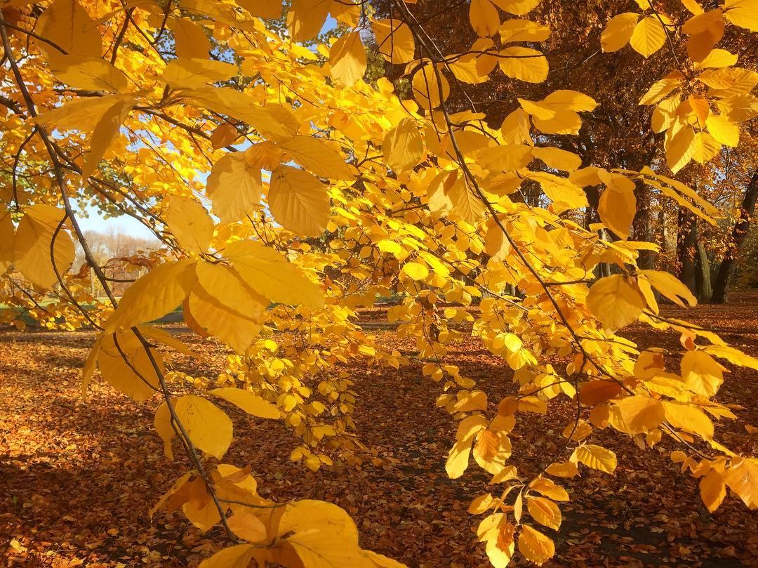 #paracegover Descrição para deficientes visuais: a imagem mostra uma árvore totalmente dourada no meio de um parque amarelo. Não estou sabendo lidar com tanta beleza... 😍 — at Treptower Park.