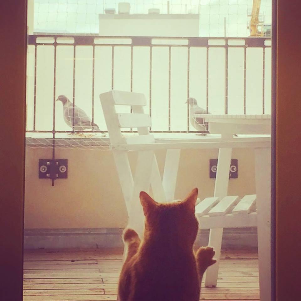 #paracegover Descrição para deficientes visuais: a imagem mostra Isabel, nossa gatinha ruiva, vista de costas, apoiada no vidro da porta da sacada. Ela assiste, fascinada, a visita de dois pombos que estão a comer sementinhas que deixei para as gralhas...rs — in Berlin, Germany.