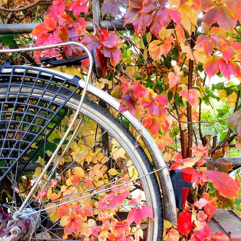 #paracegover Descrição para deficientes visuais: a imagem mostra parte da roda traseira de uma bicicleta encostada em uma cerca coberta de era com folhinhas douradas e vermelhas. — in Berlin, Germany.