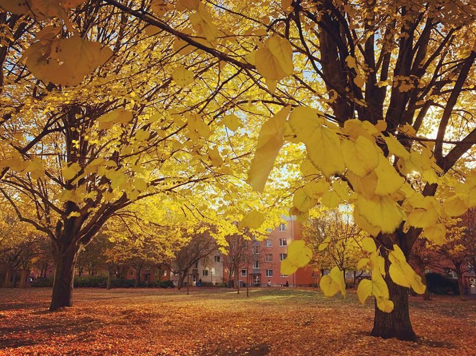 #paracegover Descrição para deficientes visuais: a imagem mostra um parque com o chão coberto de folhas douradas. As árvores estão com todas as folhas amarelas. — at Luisenstadtkirche Bodendenkmal.