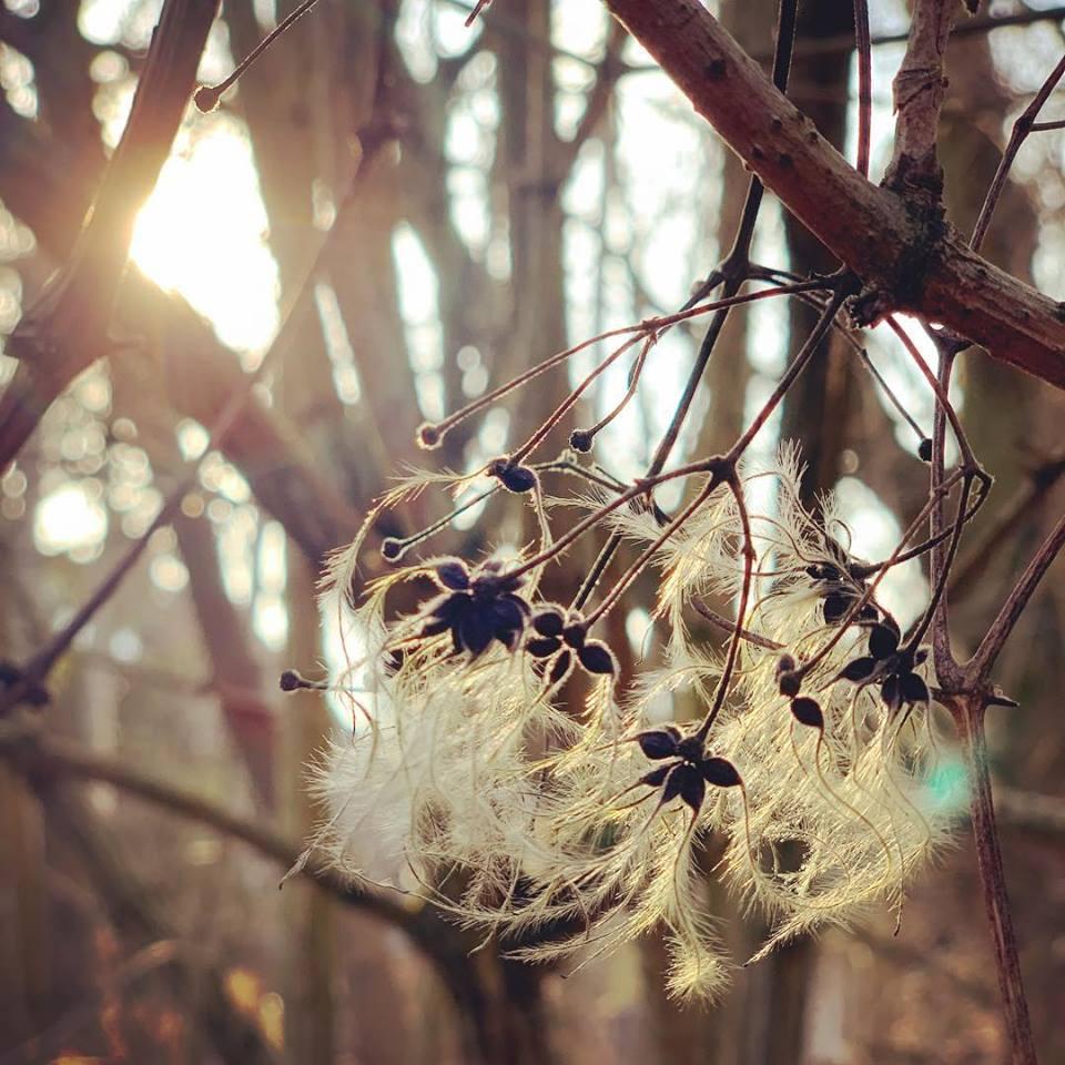 """#paracegover Descrição para deficientes visuais: a imagem mostra uma espécie de flor em que uma sementinha explode e dá lugar a uma estrutura cheia de """"cabelinhos"""". Muito linda! — at Hermsdorfer See."""